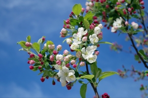 apple-blossom-tree-branch-spring-67286